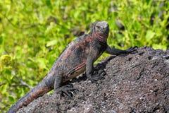 Iguane marin parc national sur d'Espanola île, Galapagos, Ecuad Photos libres de droits