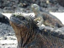 Iguane marin sur l'île de Galapagos Photos stock