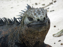 Iguane marin sur l'île de Galapagos Photo libre de droits