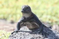 Iguane marin sur l'île du sud de plaza Photographie stock
