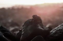 Iguane marin sur le littoral rocheux au coucher du soleil Photo libre de droits