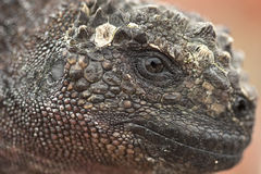 Iguane marin sur le sombrero Chino Photo stock