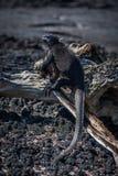 Iguane marin sur le vieux soleil d'identifiez-vous photo stock