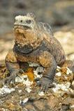 Iguane marin sur une roche image stock