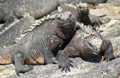 Iguane marine che espongono al sole sulla roccia Immagini Stock Libere da Diritti