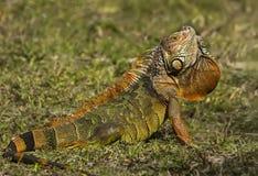 Iguane masculin aux marécages de Wakodahatchee Image stock