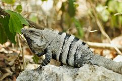 Iguane mexicain photographie stock