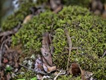 Iguane minuscule dans la mousse, Guatemala images libres de droits