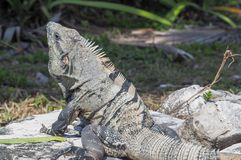 Iguane nel vecchio sito maya in Tulum, Quintana Roo, Messico fotografie stock libere da diritti
