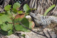 Iguane nel vecchio sito maya in Tulum, Quintana Roo, Messico fotografia stock