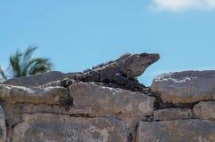 Iguane nel vecchio sito maya in Tulum, Quintana Roo, Messico immagine stock libera da diritti