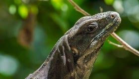 Iguane noir femelle Images libres de droits