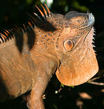 Iguane orange Image stock