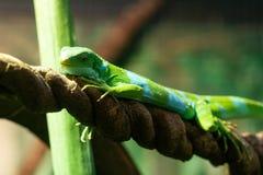 Iguane ou fasciatus réuni Fijian de Brachylophus des Fidji image libre de droits