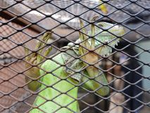 Iguane ou iguane vert dans une cage Image stock