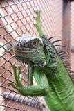 Iguane ou iguane vert dans une cage Images libres de droits