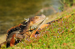 Iguane parmi de petites fleurs Photos stock