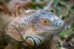 Iguane Portait Photo libre de droits
