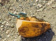 Iguane repéré photographie stock libre de droits