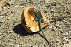 Iguane repéré photos stock