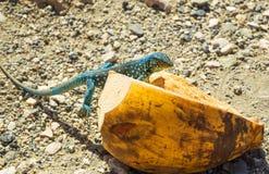 Iguane repéré photographie stock