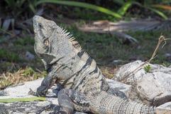 Iguane in Ruinas Tulum immagine stock