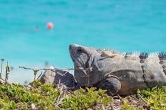 Iguane in Ruinas Tulum fotografia stock libera da diritti