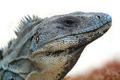 Iguane sauvage Photos libres de droits
