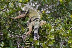 Iguane sauvage image libre de droits
