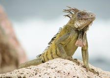Iguane sauvage Photographie stock libre de droits