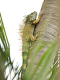 Iguane sauvage grimpant à un arbre Photos stock