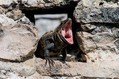 Iguane sifflant des ruines Images libres de droits