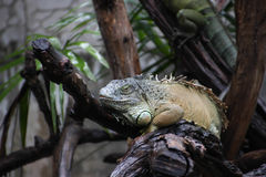 Iguane sur des branches d'arbre Images libres de droits