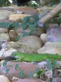 Iguane sur des roches image libre de droits