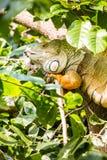 Iguane sur l'arbre Image stock