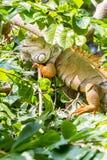 Iguane sur l'arbre Photos stock