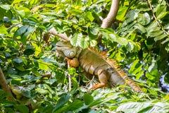 Iguane sur l'arbre Photographie stock libre de droits