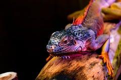 Iguane sur l'arbre, fond noir photographie stock libre de droits