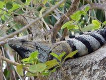 Iguane sur la grande branche dans le site maya Tulum Image libre de droits