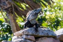 Iguane sur la pile en pierre Photo stock