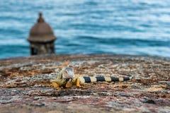 Iguane sur la profondeur de mur en pierre de château du champ Photographie stock