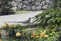 Iguane sur la promenade Photo libre de droits