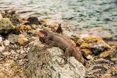 Iguane sur la roche regardant l'appareil-photo Photographie stock