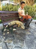 Iguane sur le banc de parc, Equateur Photo libre de droits