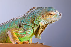Iguane sur le bleu Photos libres de droits
