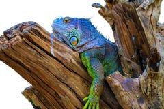 Iguane sur le bois images libres de droits