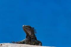 Iguane sur le Curaçao image stock