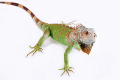 Iguane sur le fond blanc Photo stock