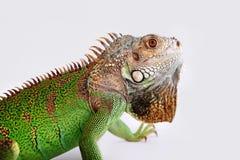 Iguane sur le fond blanc Photographie stock