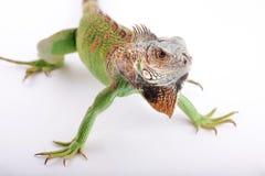 Iguane sur le fond blanc Images libres de droits
